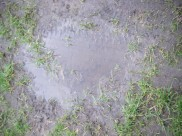Allotments and puddles 013
